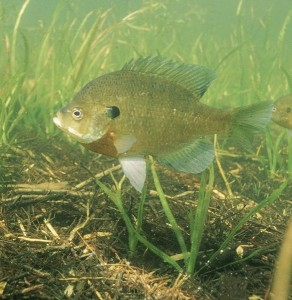 Bluegill Fishing 292x300