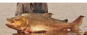 goliath tigerfish 300x122