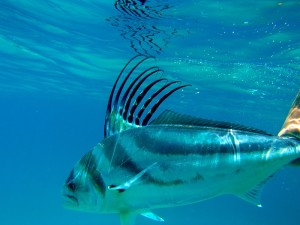 Rooster Fish Catch and Release